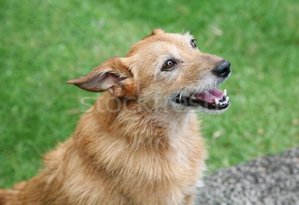 счастливым собака Cute грязный терьер улыбка Сток-фото © suemack