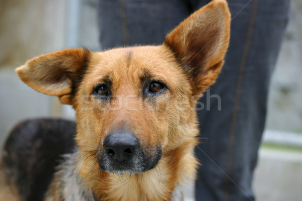 Sad german shepherd dog Stock photo © suemack