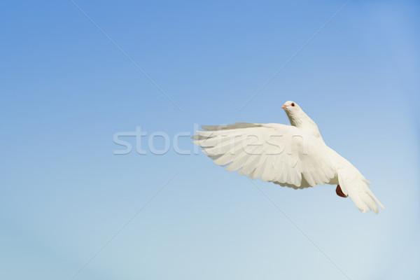 белый голубя Flying вверх красивой материальных Сток-фото © suemack