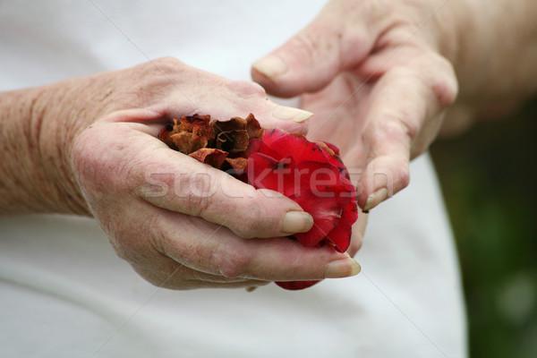Arthritic hand holding rose petals Stock photo © suemack