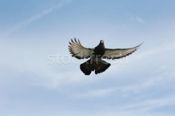 голубь полет красивой серый Blue Sky небе Сток-фото © suemack