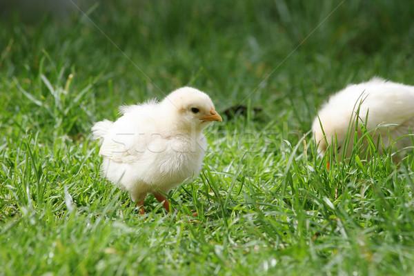 Cute yellow chicken Stock photo © suemack