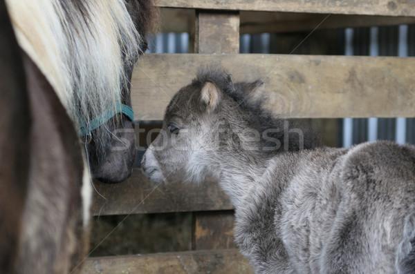 миниатюрный лошади вверх матери стабильный Сток-фото © suemack