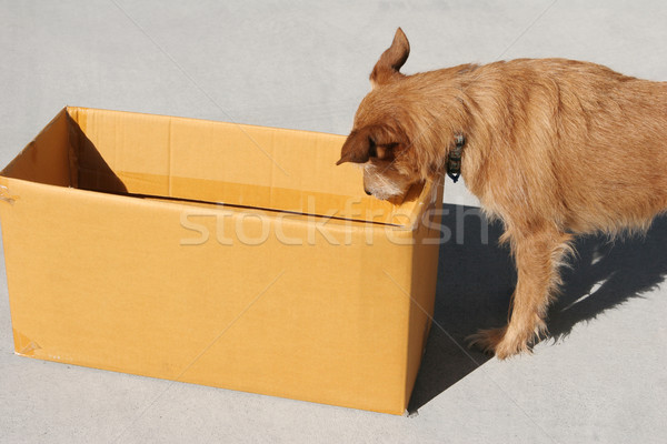 Dog looking into empty cardboard box Stock photo © suemack