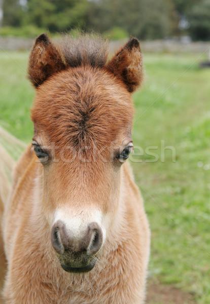 миниатюрный лошади жеребенок крошечный трава области Сток-фото © suemack