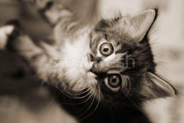 Tabby kitten looking up Stock photo © suemack