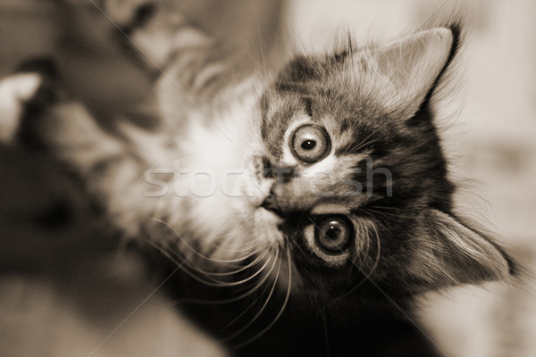 котенка Cute черно белые изображение Сток-фото © suemack