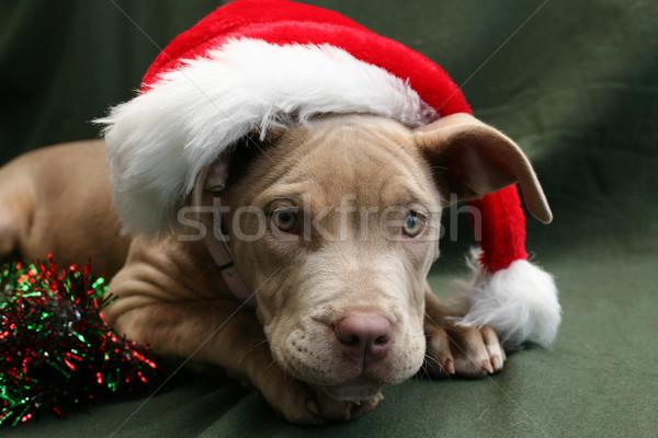 Pitbull kutyakölyök visel mikulás kalap gyönyörű Stock fotó © suemack