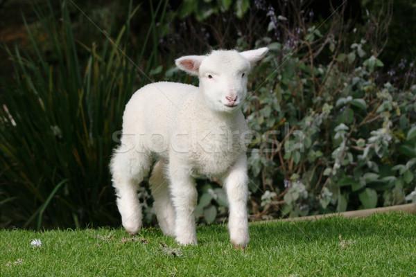 Young white lamb Stock photo © suemack