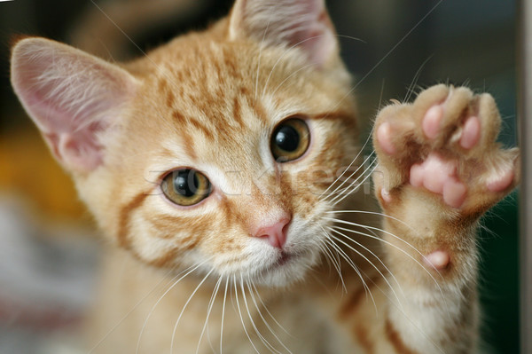 Kitten high five cute gember poot Stockfoto © suemack