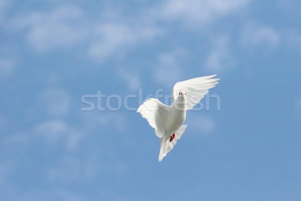 белый голубя полет красивой небе крыльями Сток-фото © suemack