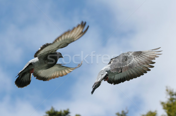 серый голубь полет изображение синий Сток-фото © suemack