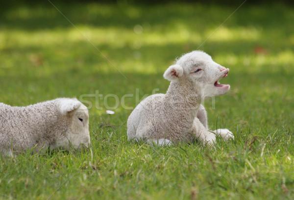 Lamb in the paddock  Stock photo © suemack