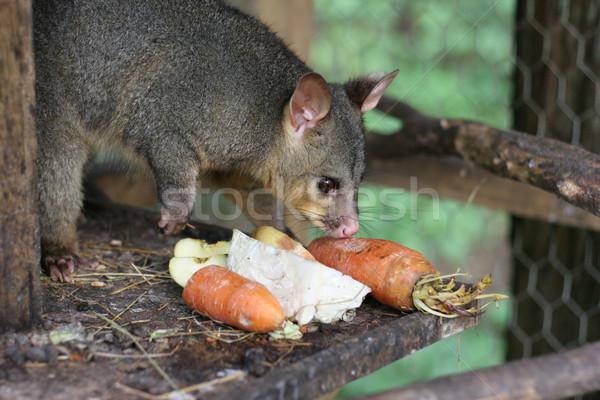 Pet possum feeding Stock photo © suemack