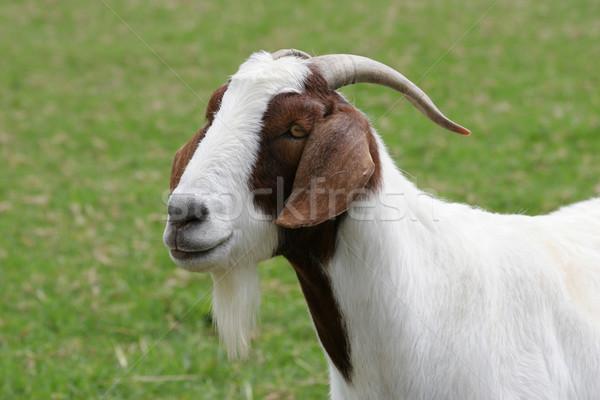 коза области коричневый белый трава Сток-фото © suemack