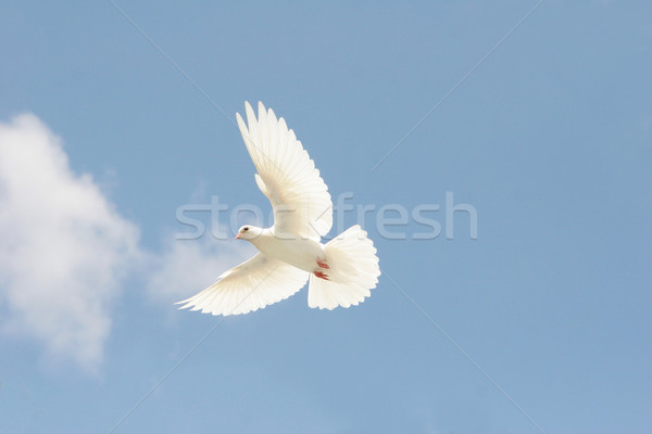 White dove in flight Stock photo © suemack