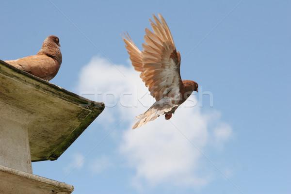 голубь Flying далеко красивой коричневый птица Сток-фото © suemack