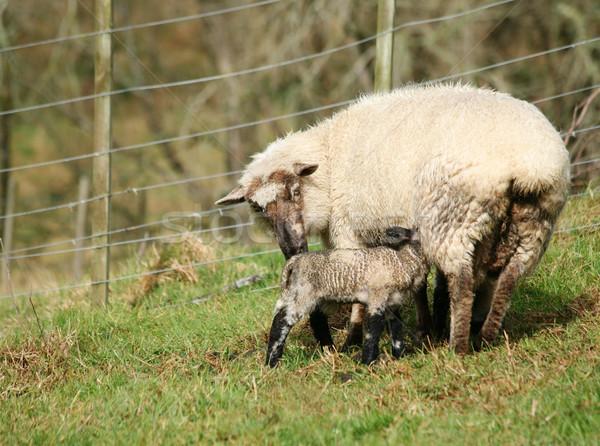 Newborn lamb and ewe Stock photo © suemack