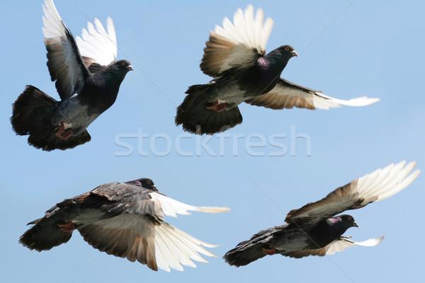 голубь полет изображение красивой серый Сток-фото © suemack