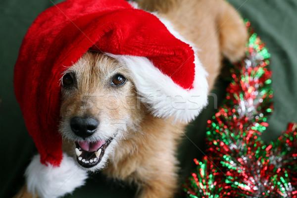 Kutya mikulás kalap aranyos retkes terrier Stock fotó © suemack