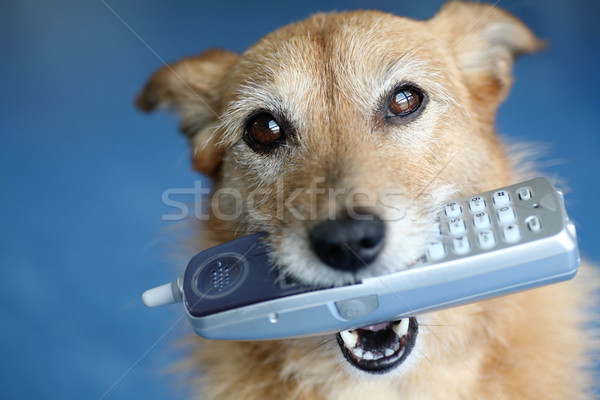 Dog with phone in her mouth Stock photo © suemack