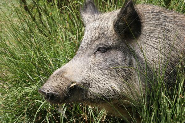 свинья серый Новая Зеландия Сток-фото © suemack