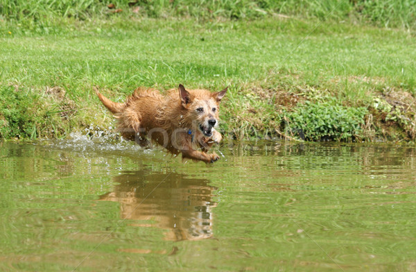 Dog leaping into water Stock photo © suemack