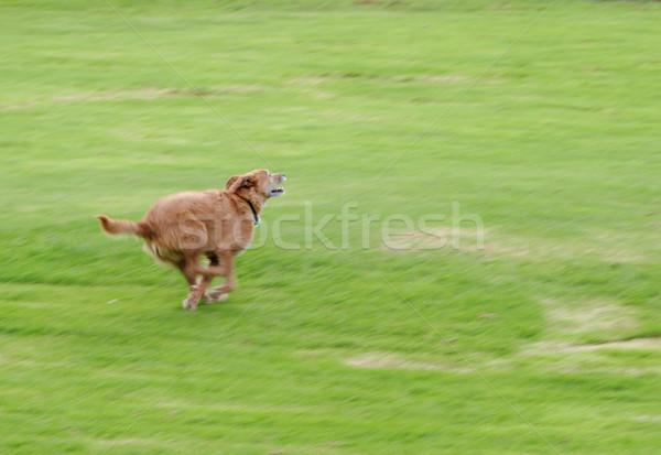 собака работает быстро Cute грязный терьер Сток-фото © suemack