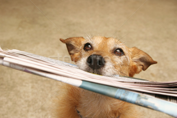 Dog with the daily news Stock photo © suemack