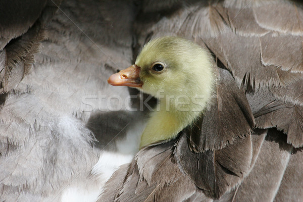 Gosling safe under mother's wing Stock photo © suemack