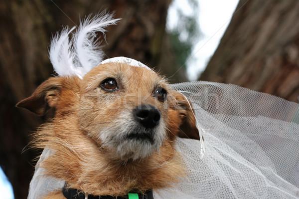 Dog wearing a bridal veil Stock photo © suemack