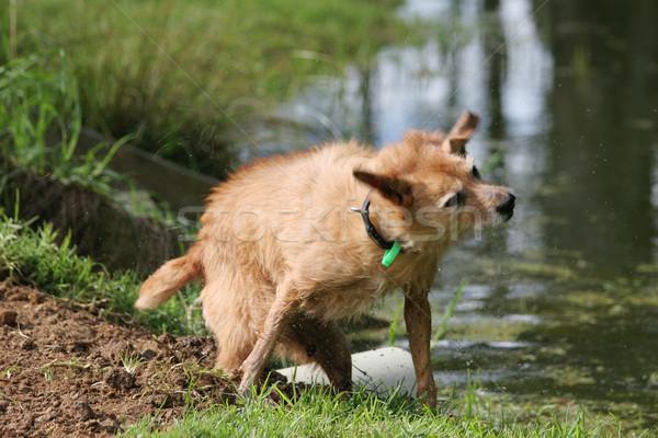 Wet dog shake Stock photo © suemack