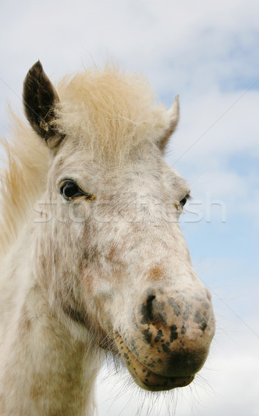 миниатюрный лошади красивой белый коричневый Сток-фото © suemack