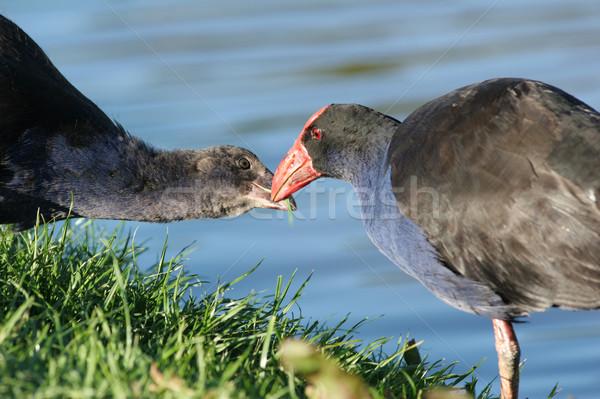 Pukeko bird feeding her chick Stock photo © suemack