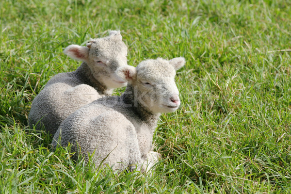 Twin white lambs Stock photo © suemack