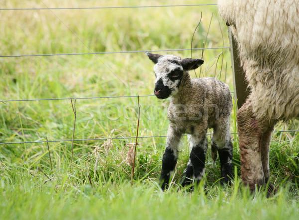Newborn lamb Stock photo © suemack