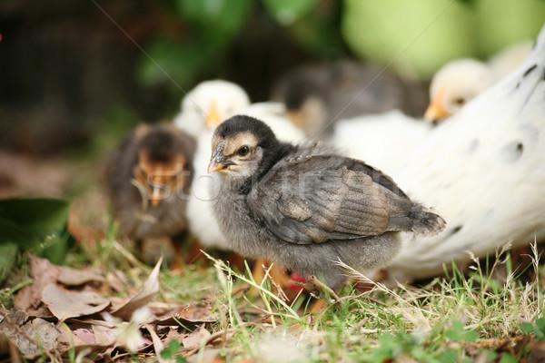 Baby free range chicken Stock photo © suemack