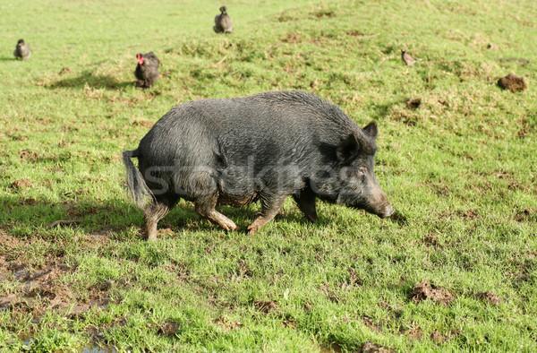 Кука свинья черный родной Новая Зеландия Сток-фото © suemack