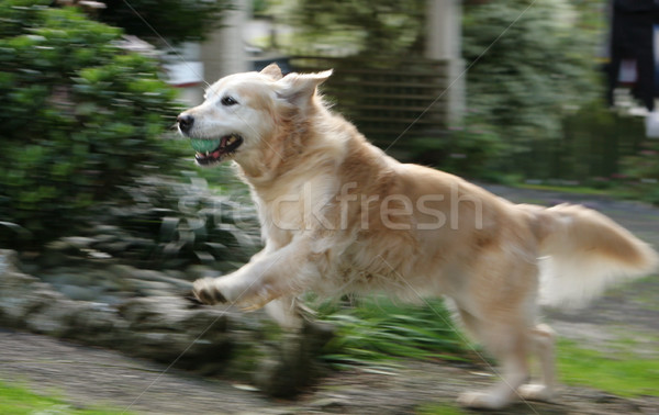 Golden retriever running Stock photo © suemack