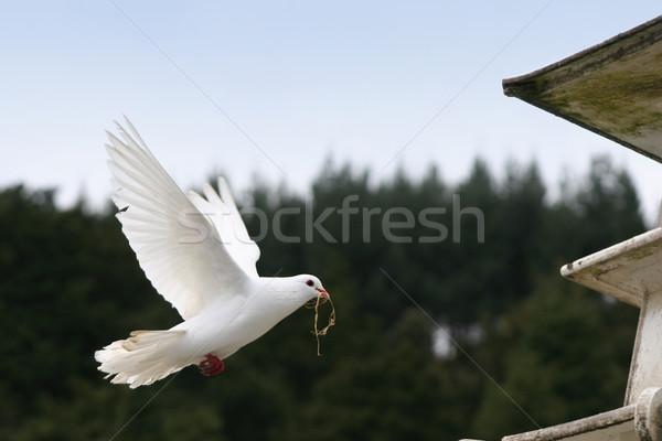 белый голубя Flying красивой назад птица Сток-фото © suemack