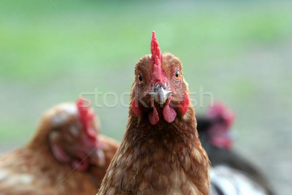Free range chickens Stock photo © suemack