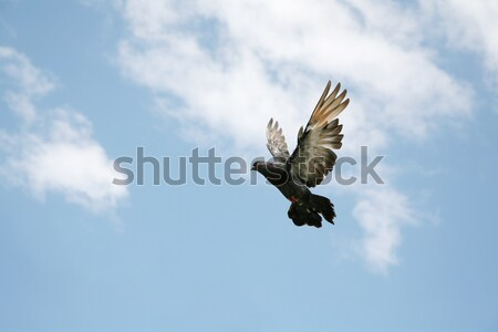 голубь Flying красивой Blue Sky небе птица Сток-фото © suemack