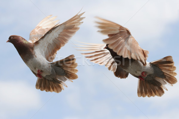 Pigeon in flight Stock photo © suemack