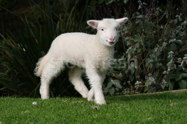 Cute white lamb Stock photo © suemack