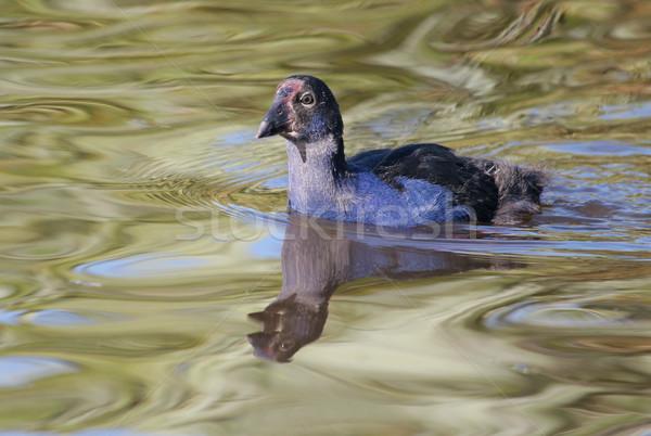Pukeko swimming Stock photo © suemack
