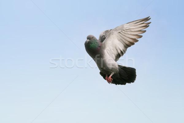 серый голубь полет красивой небе Сток-фото © suemack