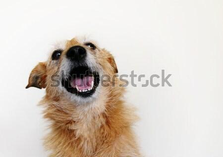 Hund glücklich grinsen cute ungepflegt terrier Stock foto © suemack