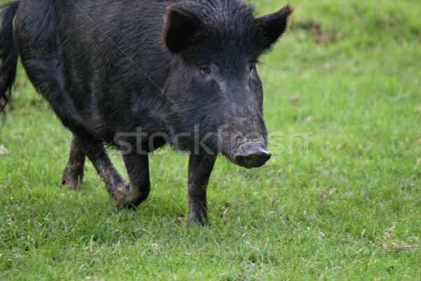 черный Кука свинья родной Сток-фото © suemack