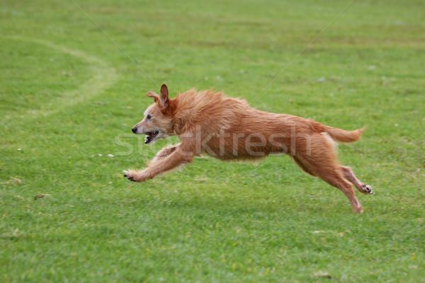 Senior dog running fast Stock photo © suemack