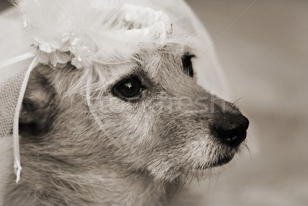 Dog in a bridal veil Stock photo © suemack
